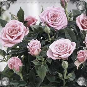 Роза расцвела