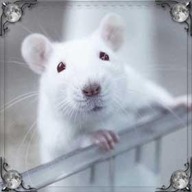 Бегающая крыса