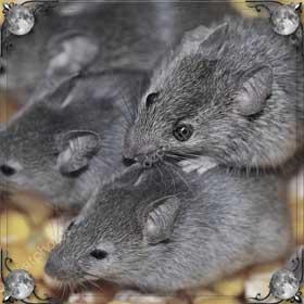 Бегущие мыши