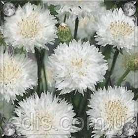 Белые васильки