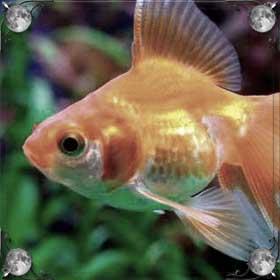 Беременная рыбка