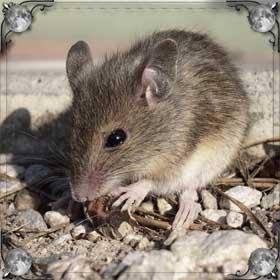 Беременные мыши