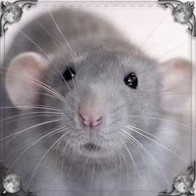 Бежать от крысы