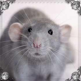 Бежать за крысой