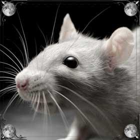 Большая белая крыса