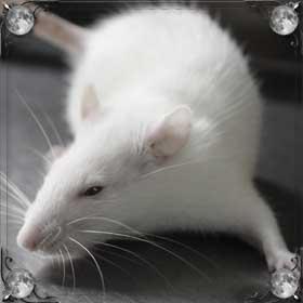 Большая крыса