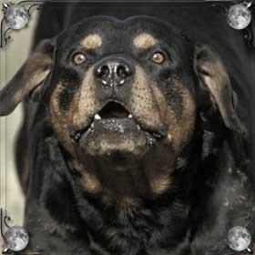 Большая злая собака