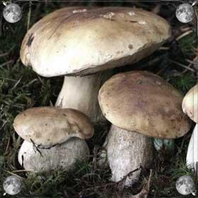 Большие грибы