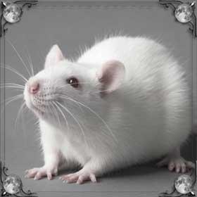 Большие серые крысы
