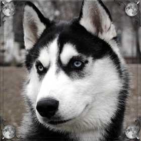 Бойцовская собака