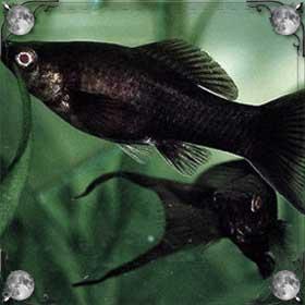 Черная рыба