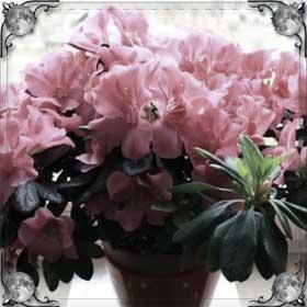 Цветут комнатные цветы