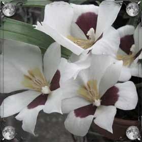 Дарить орхидеи