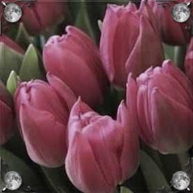 Дарить тюльпаны