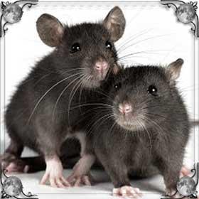 Дерущиеся крысы