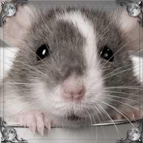 Держать крысу