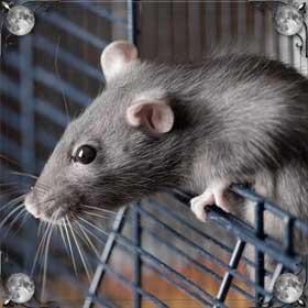 Детеныш крысы