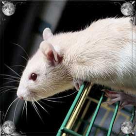 Дружелюбная крыса