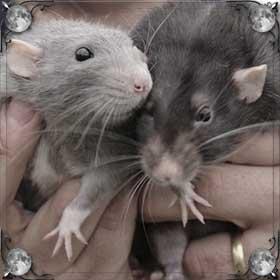 Глаза крысы