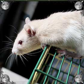 Гонять крысу