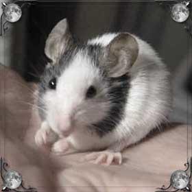 Хвост мыши