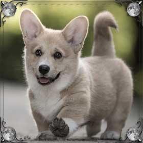 Хвост собаки