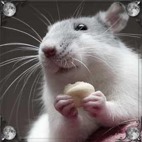 Живая крыса
