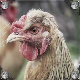 Живая курица