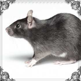 Кидается крыса