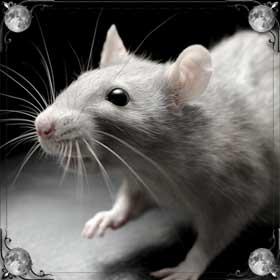 Красивая крыса