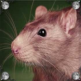 Красная крыса
