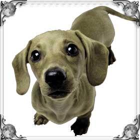 Кремовая собака