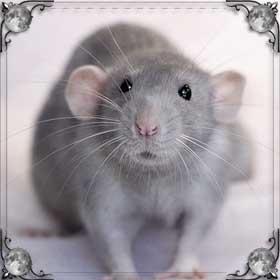 Крыса гонится