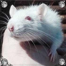 Крыса хочет укусить