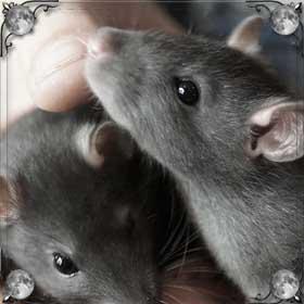Крыса кусается