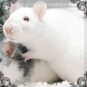 Крыса рожает