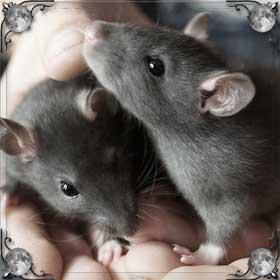 Крыса умирает