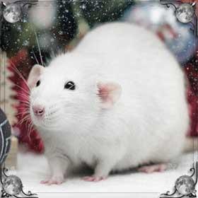 Крыса в воде