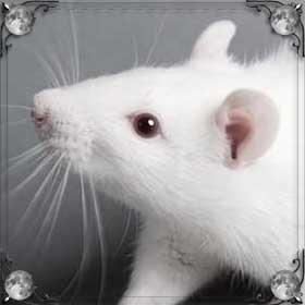 Крысы едят