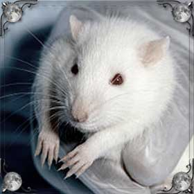 Крысы ели крысу