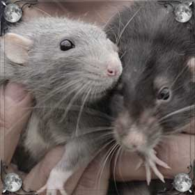 Крысы в клетке