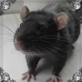 Крысы в квартире