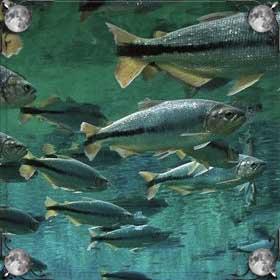 Купаться в рыбе
