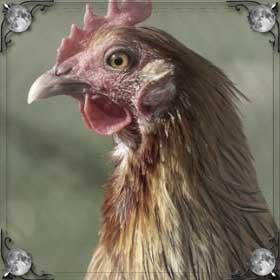 Курица убежала