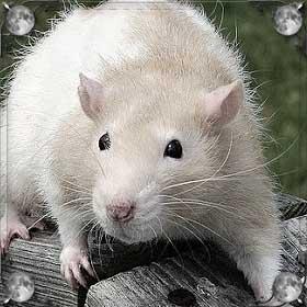 Ловить крысу