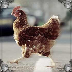 Ловить курицу