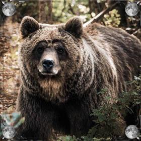 Медведь на цепи