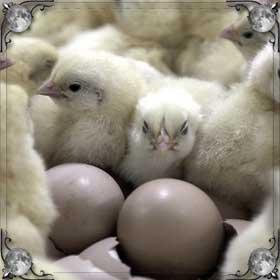 Мертвые цыплята
