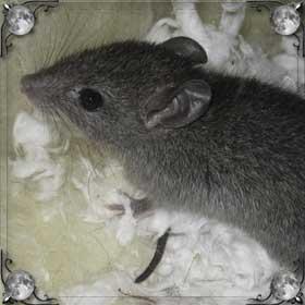 Мышь рожает