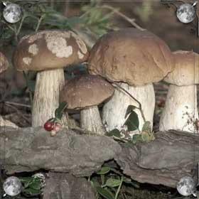 Много белых грибов